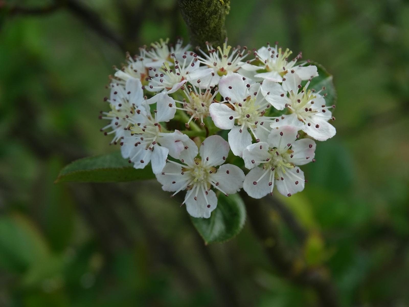 Aronia czarna, kwiaty, 21.05.2020 r.