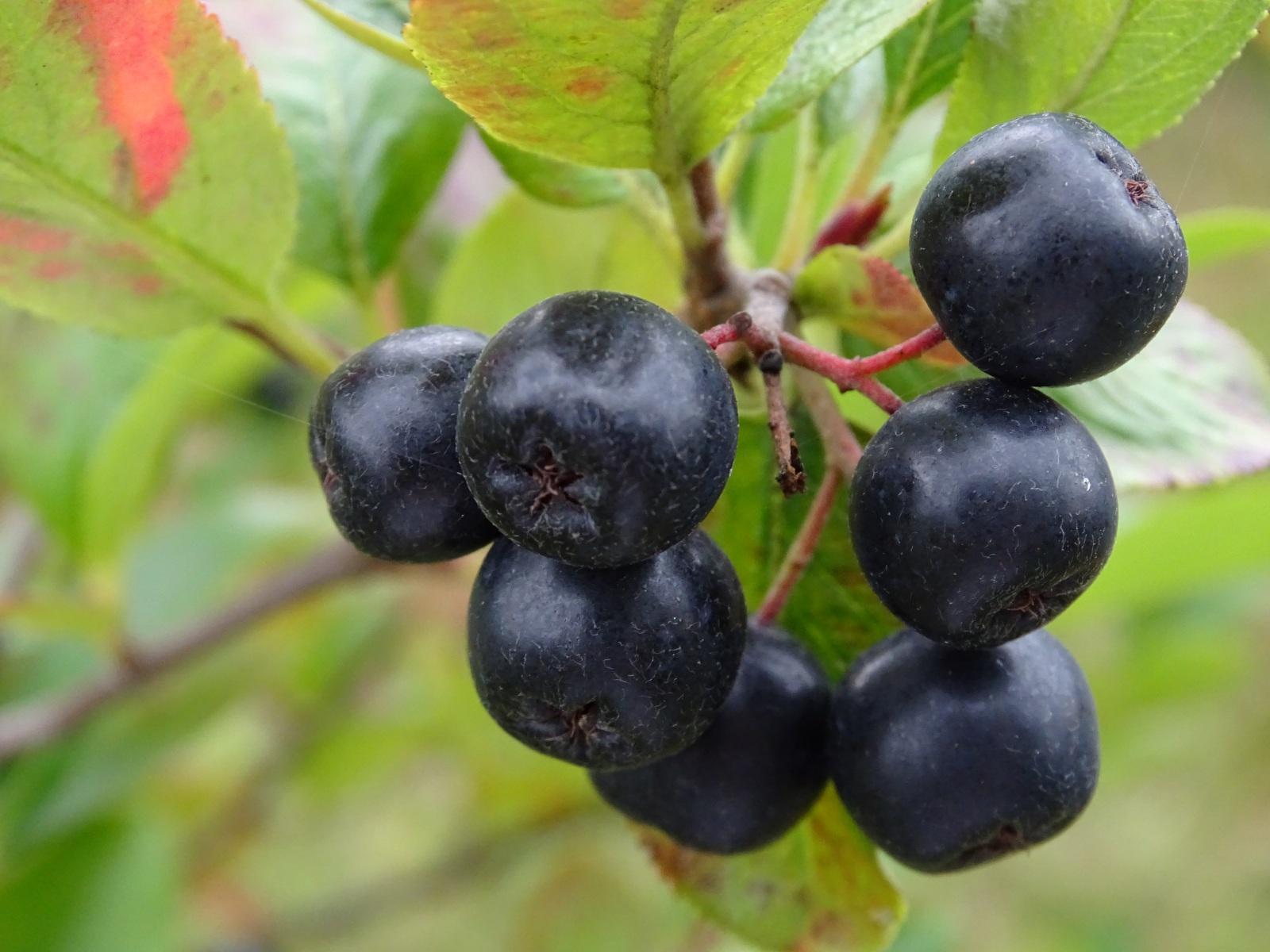 Aronia czarna owoce, 23.08.2020 r.