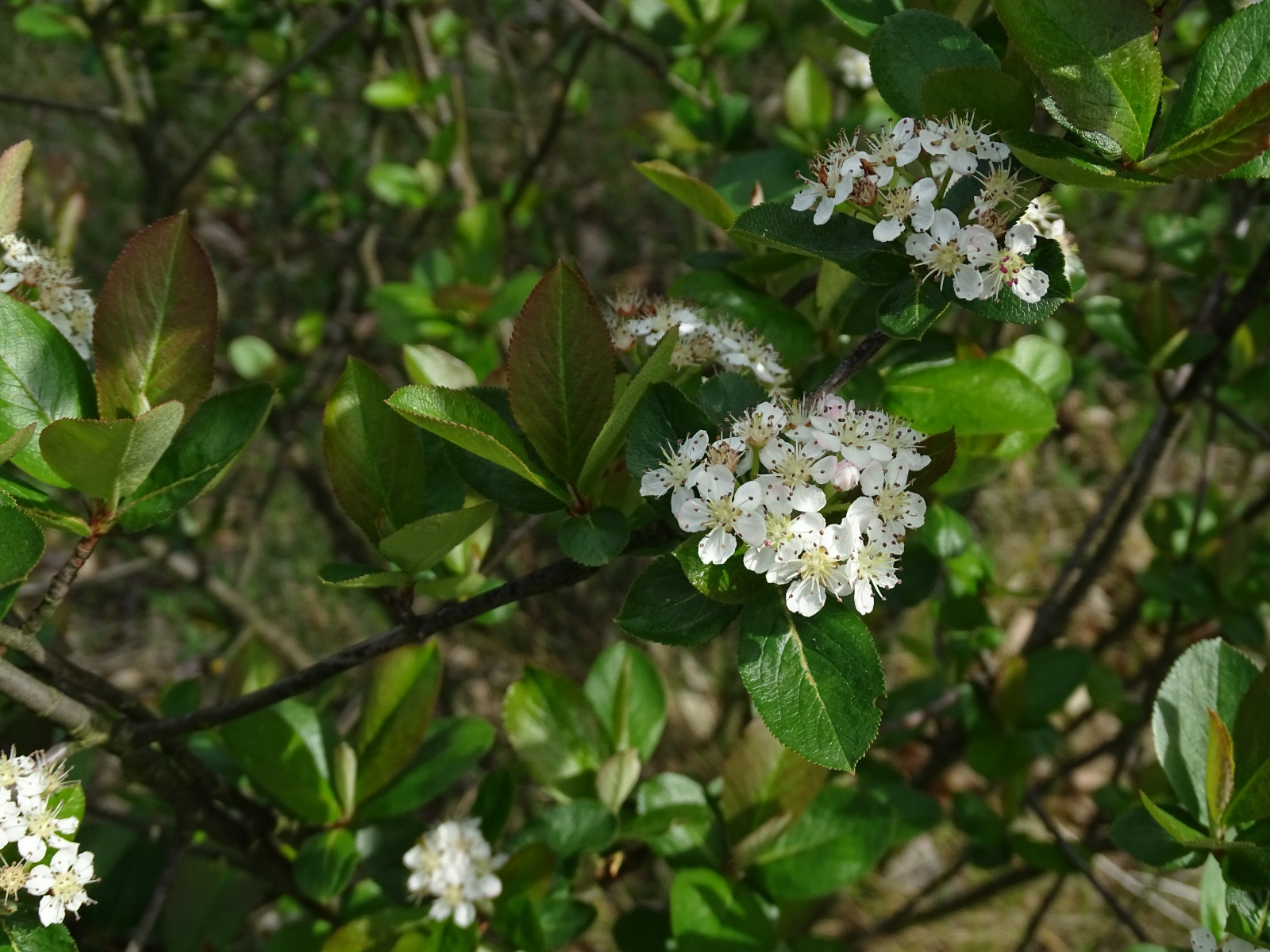 Aronia czarna, pęd z kwiatami, 21.05.2020 r.