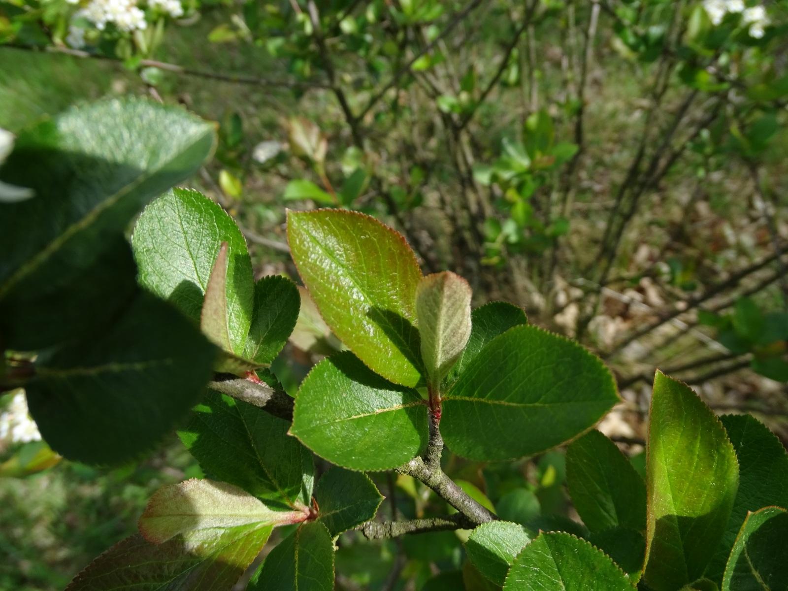 Aronia czarna, liście, 21.05.2020 r.
