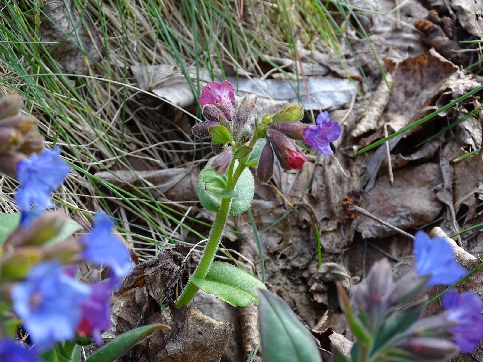Miodunka ćma, przebarwiające się kwiaty, 18.03.2020 r.
