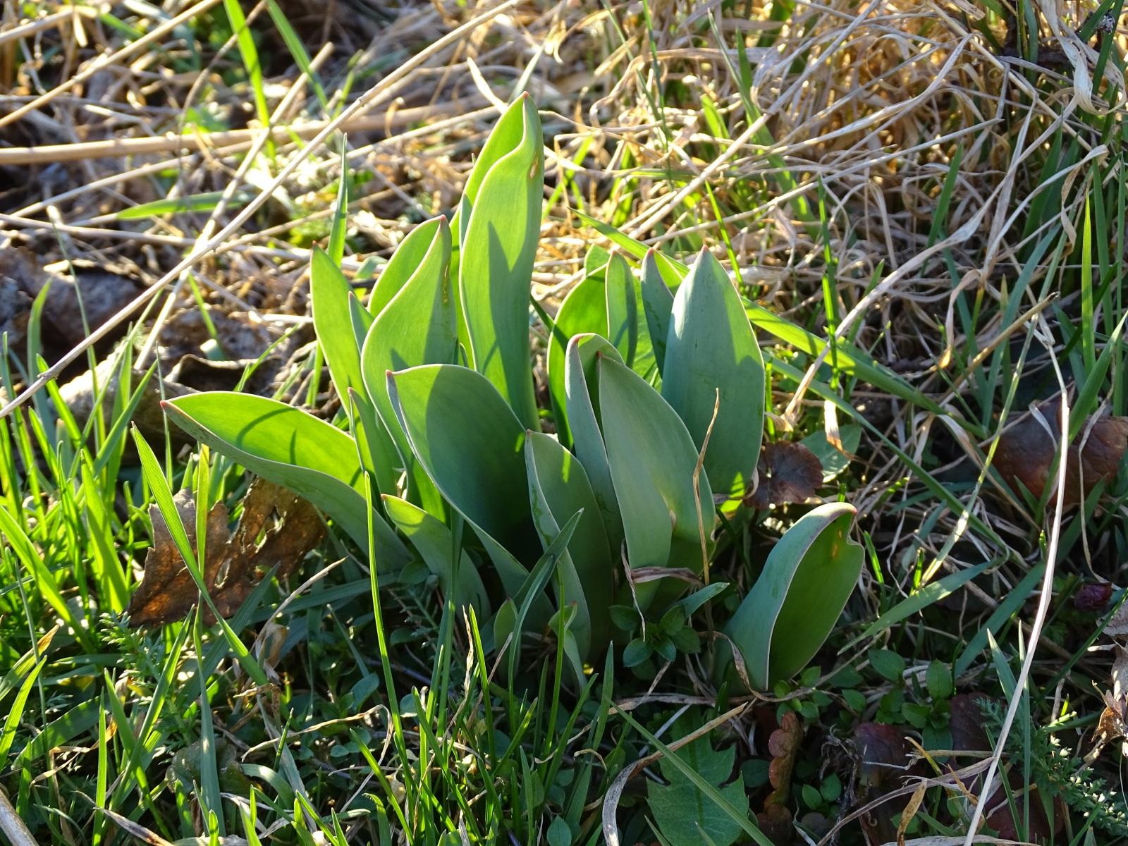 Tulipan, młode liście, 23.03.2020 r.
