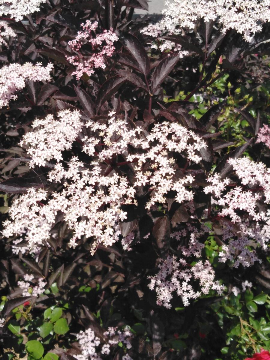 Bez czarny 'Eva', kwiaty, 4.06.2019 r.