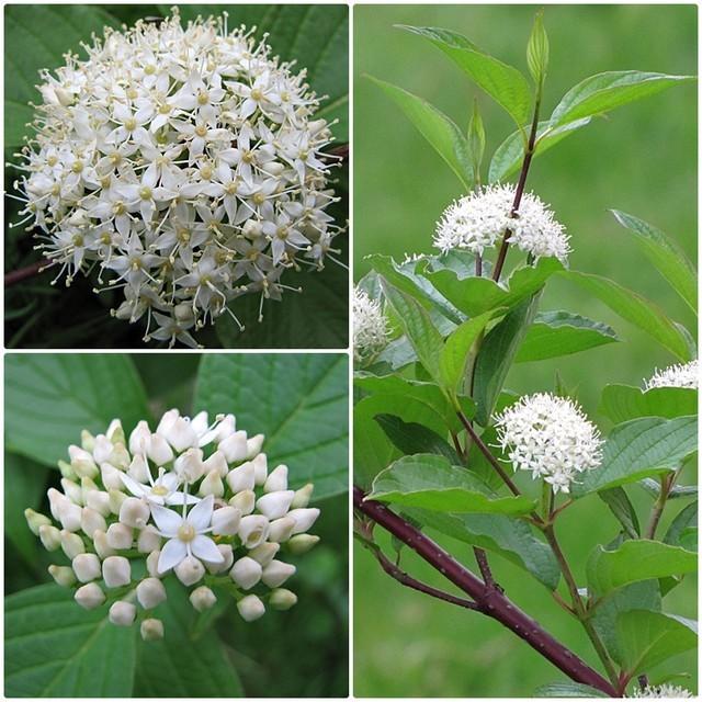 Dereń biały kwiaty, źródło: https://galeria.swiatkwiatow.pl/zdjecie/deren-bialy,83901,1698.html, dostęp: 29.01.2020 r.