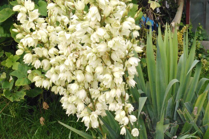 Agawowate (Agavaceae)