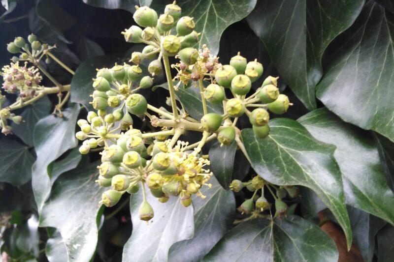 Araliowate (Araliaceae)