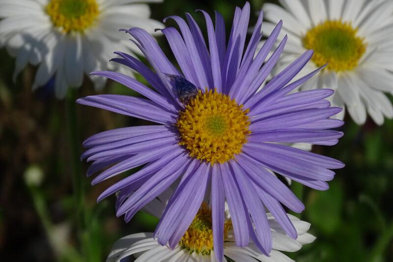 Astrowate (Asteraceae)