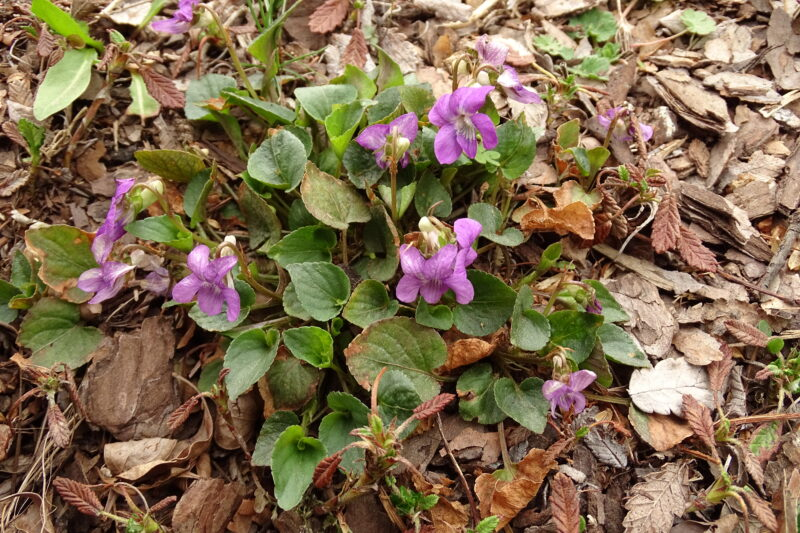 Fiołkowate (Violaceae)
